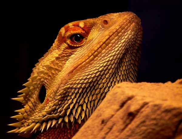 closeup of a bearded dragons head
