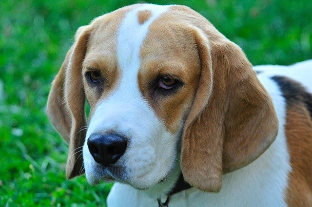 closeup of a beagles head, showing the shape of their nose