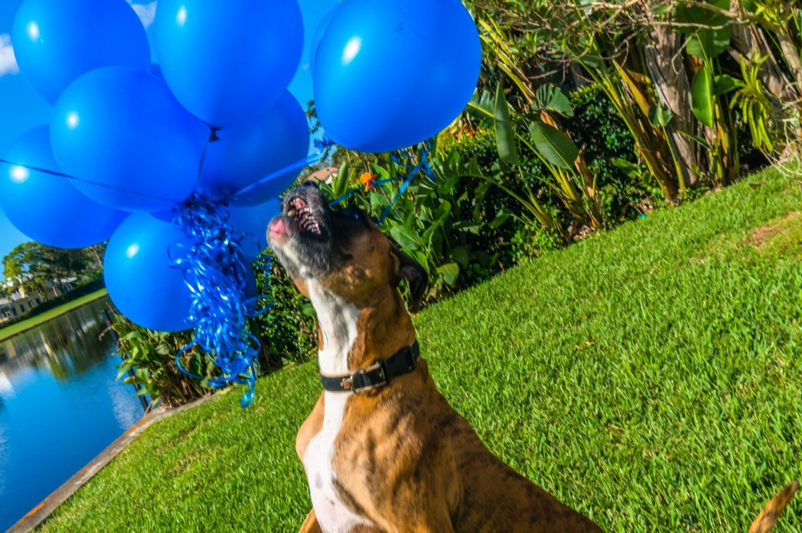 A Boxer Dog Playing With Balloons