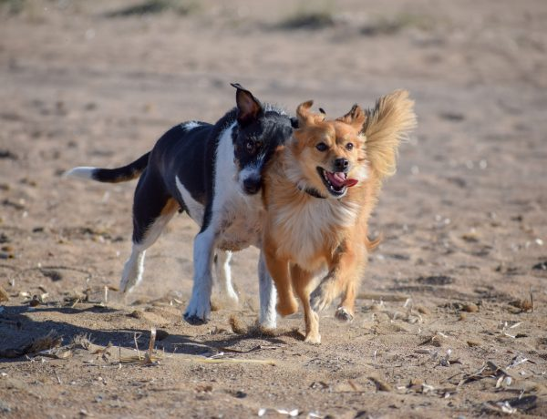 a purebred dog and a mixed breed dog on the beach together