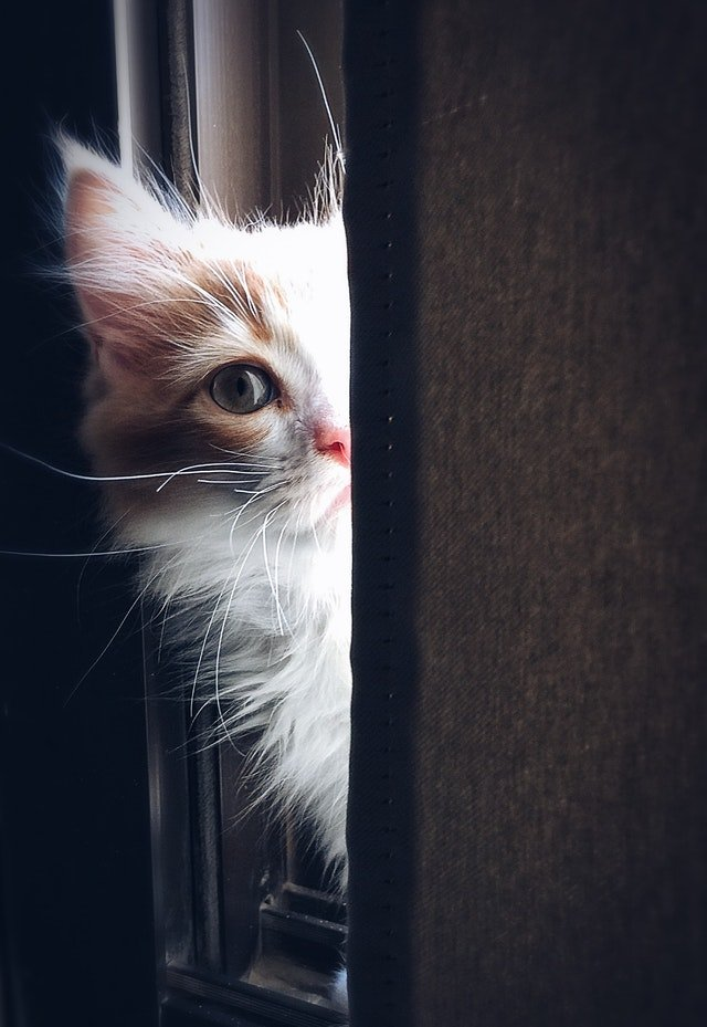timid cat deciding if he wants to come out from hiding