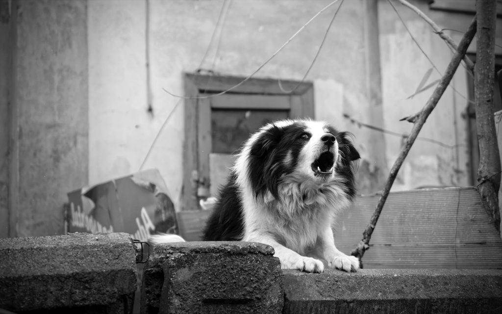 Barking Border Collie