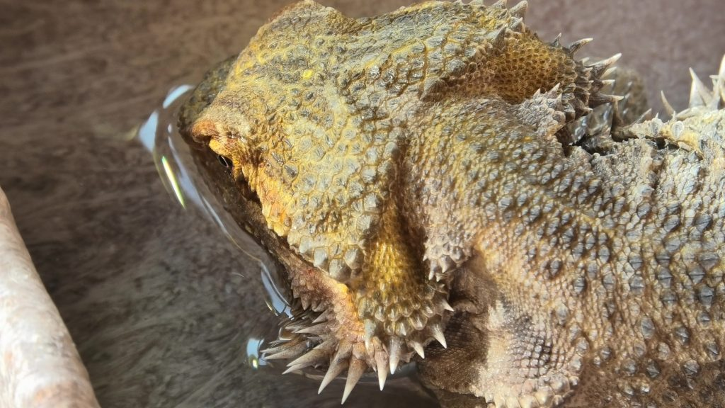a bearded dragon drinking water