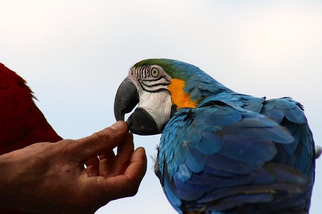 Blue and gold macaw taking a treat