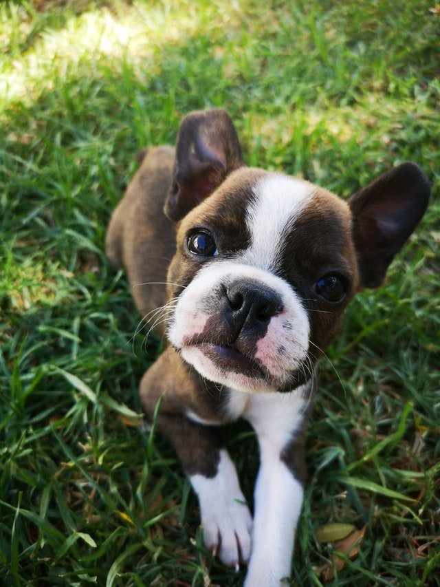 brown and white boston terrier puppy
