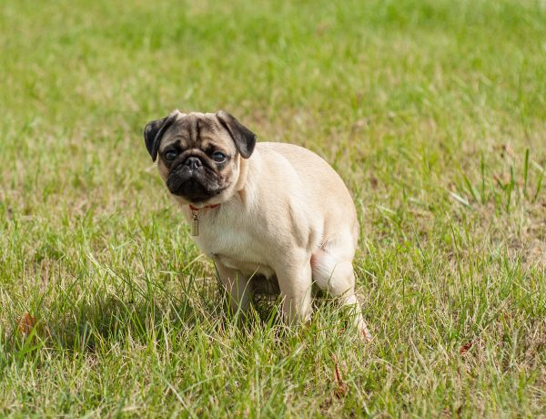 A pug pooping in the middle of a field