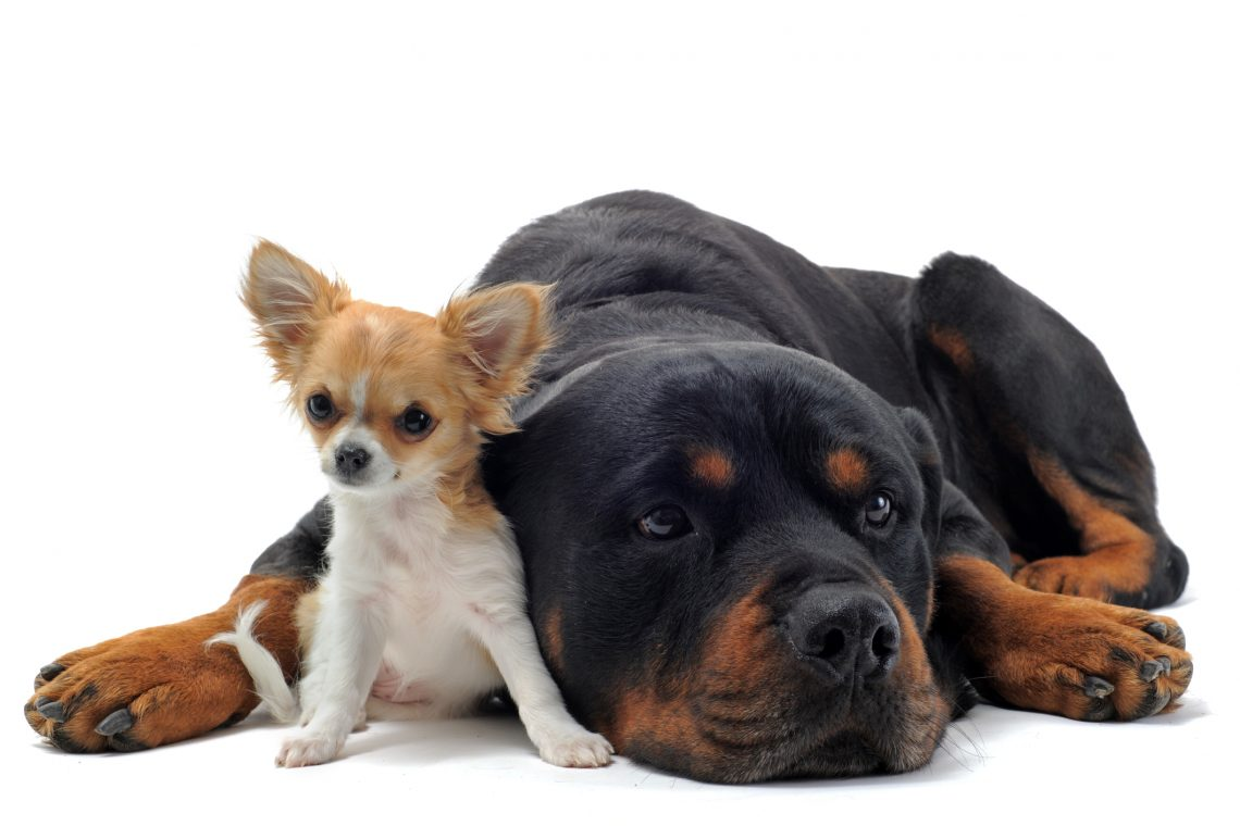rottweiler and chihuahua sitting together