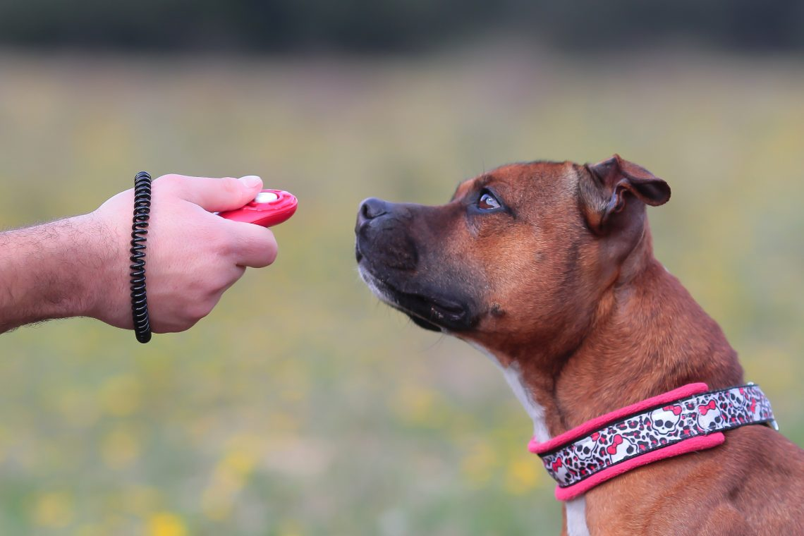 Staffordshire Terrier with dog training clicker