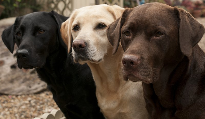 The three accepted colors of purebred Labradors.  Black, Yellow, and Chocolate.