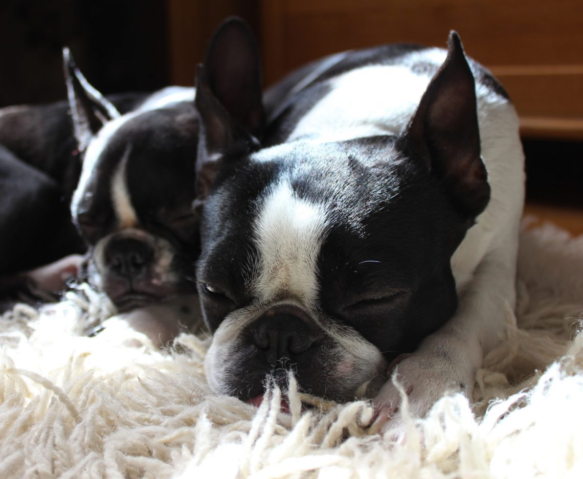 male and female boston terriers