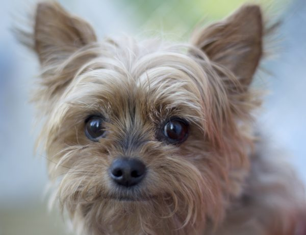A small breed dog (yorkshire terrier) that is senior and missing teeth