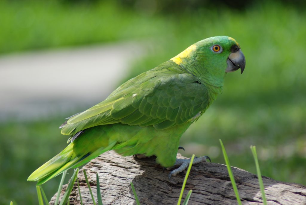 a close-up of an amazon parrot sitting on a log