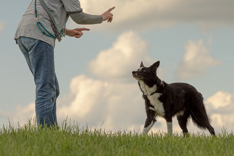 Border-collie-watching-private-trainer
