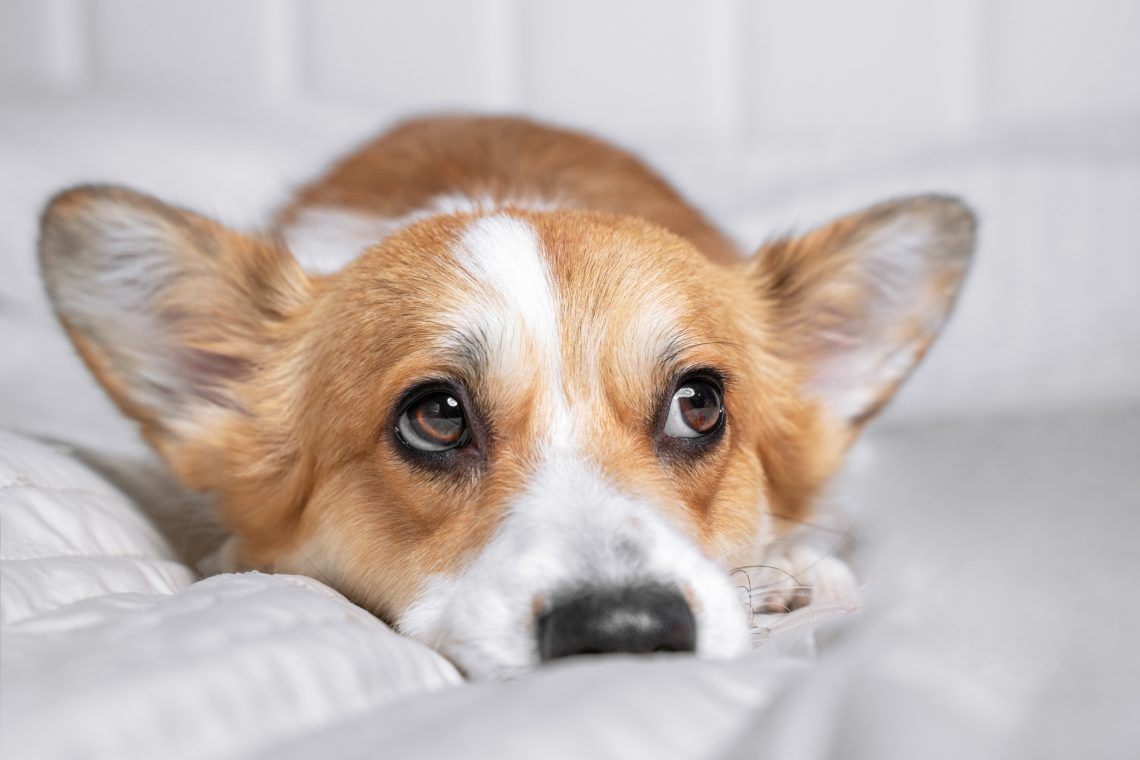 a corgi puppy that is in trouble, making a sad face