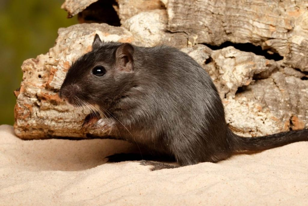 gerbil in sand
