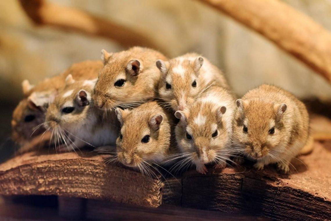 gerbil family