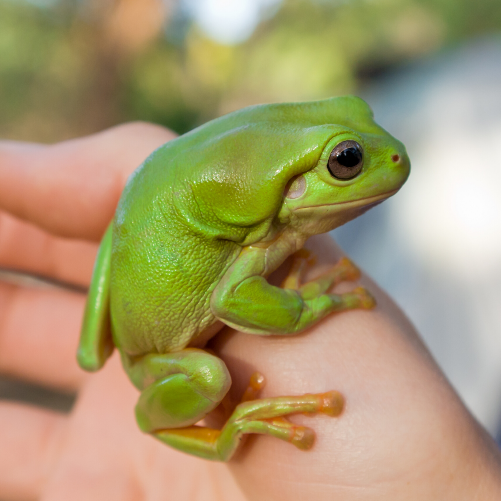 close up of Green Tree Frog being held by a person