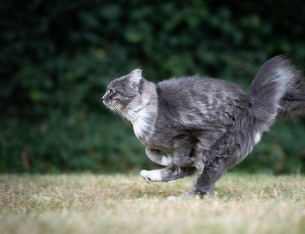 grey tabby cat running