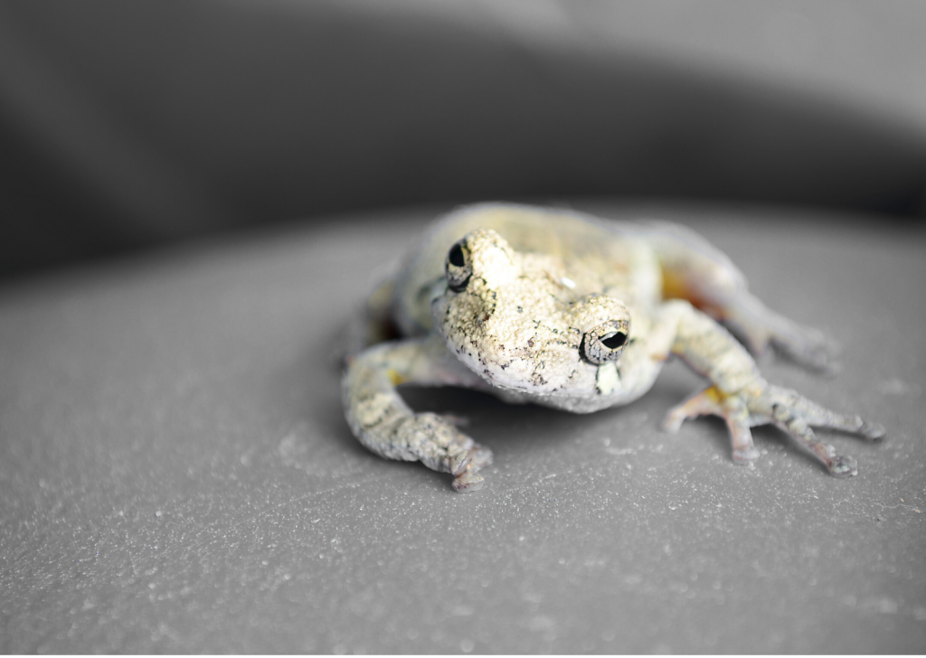 a zoomed in picture of a Gray Tree Frog