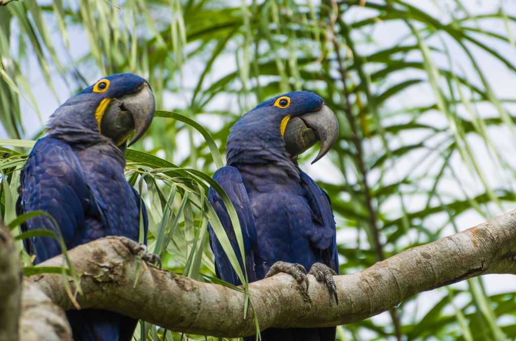 two adult hyacinth macaws sitting in a tree