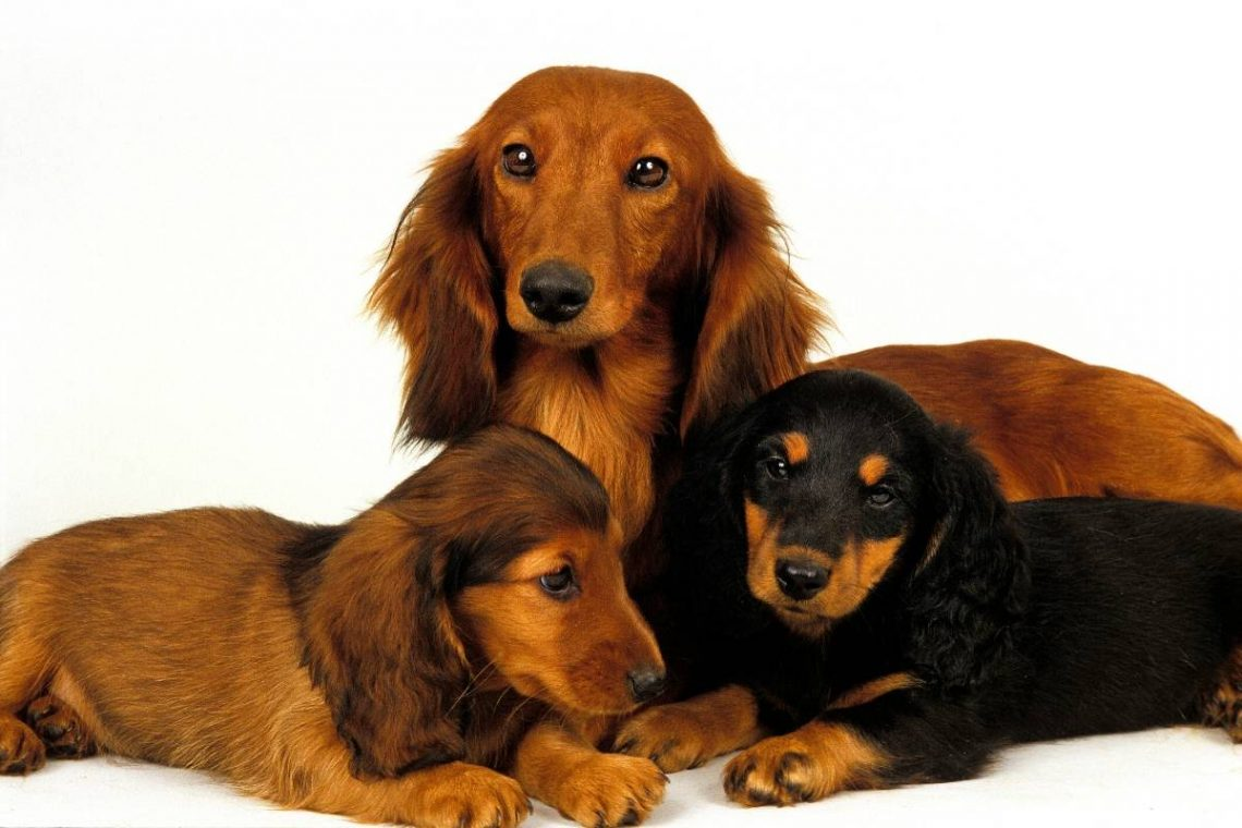 longhaired dachshund and two puppies