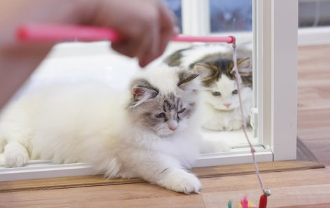 White and grey Munchkin cats playing with toy