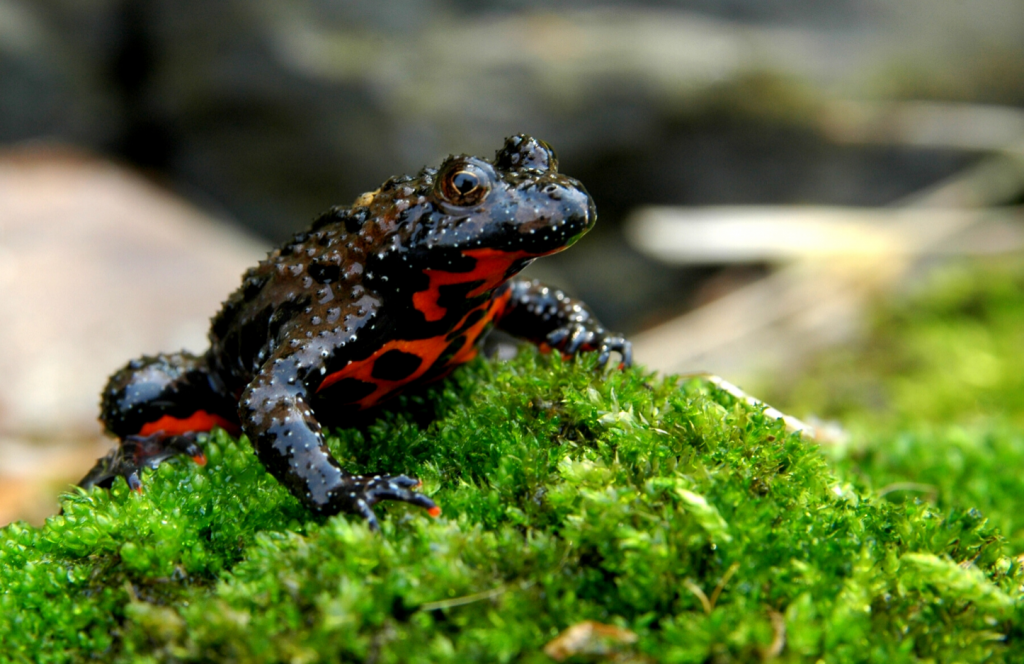 an Oriental Fire-bellied Toad sitting on a mossy rock in an enclosure