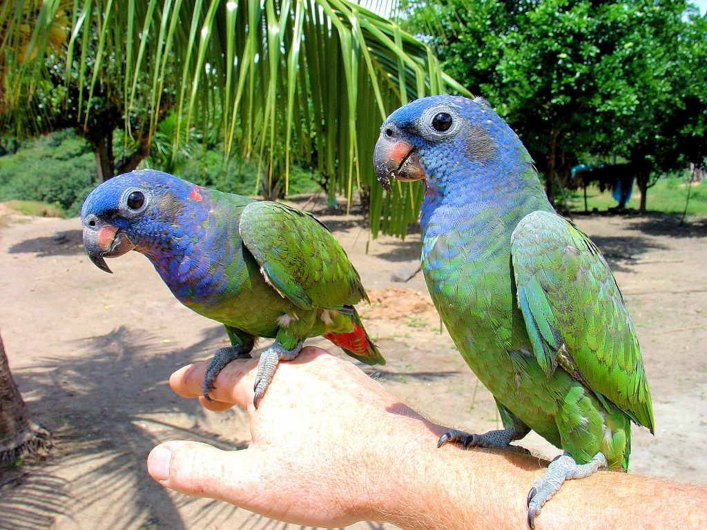 two pionus parrots perched on their owners arm