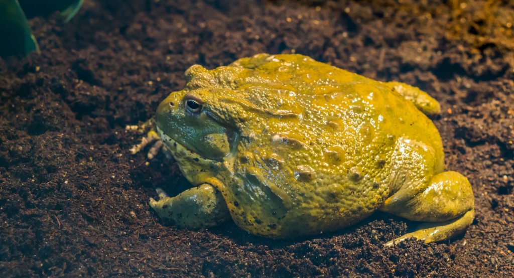 a close up of a Pixie Frog sitting on a moss bed in his tank