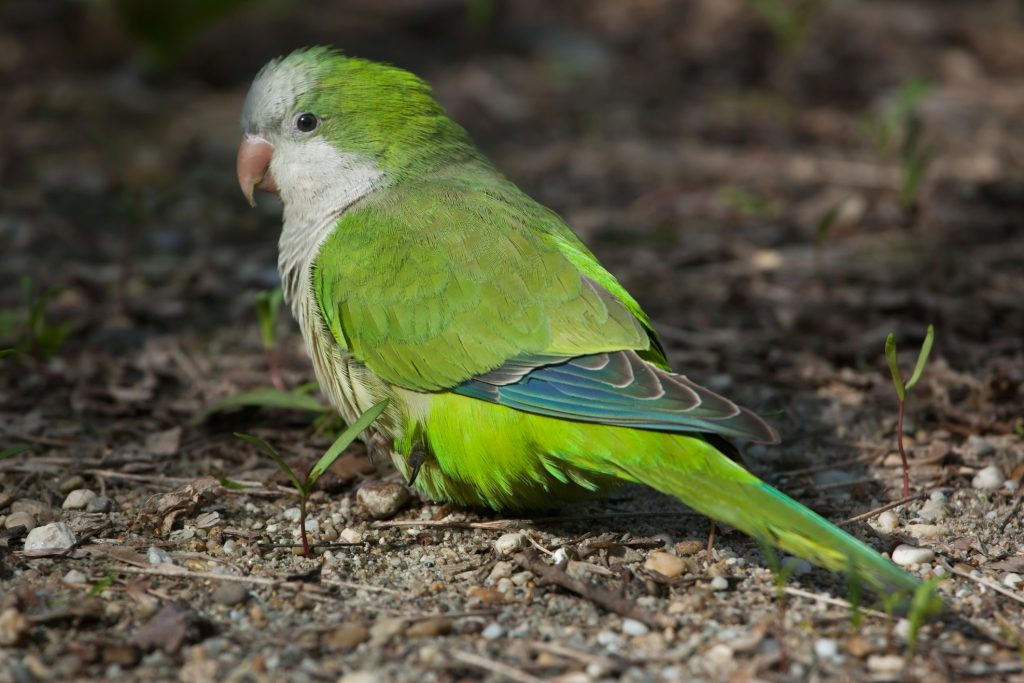 a shy quaker parrot sitting on the ground
