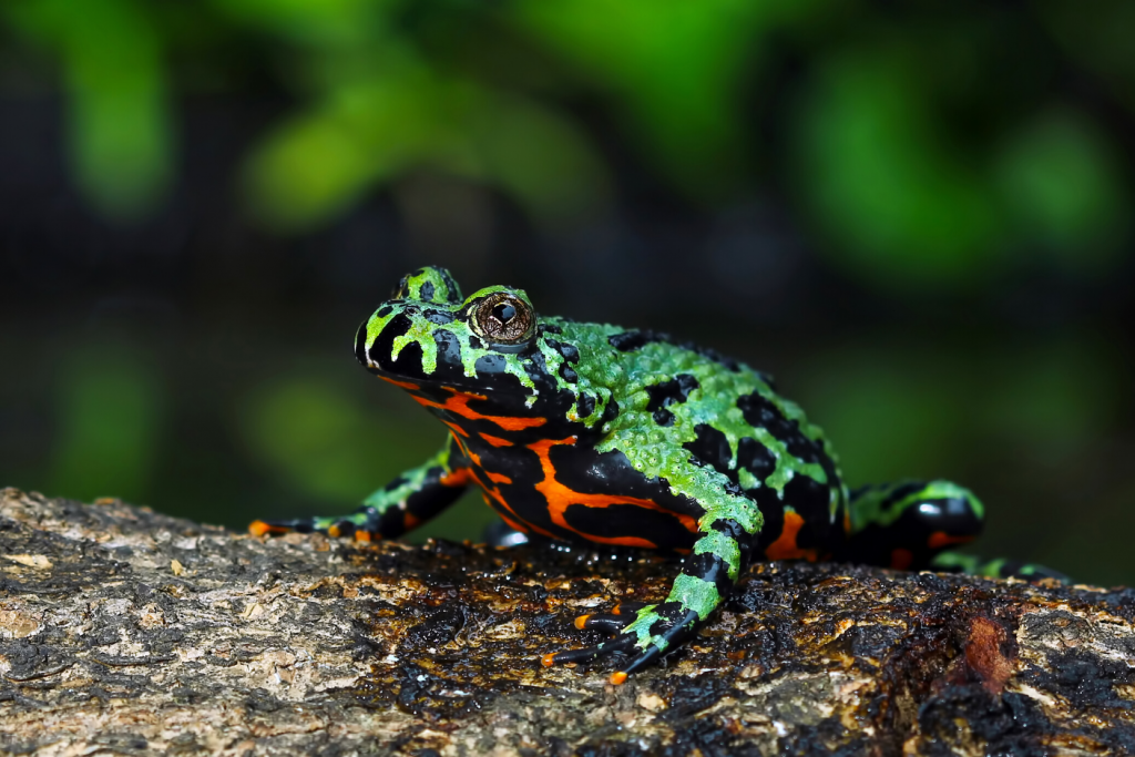 a close-up of a red-bellied toad sitting on a wooden log
