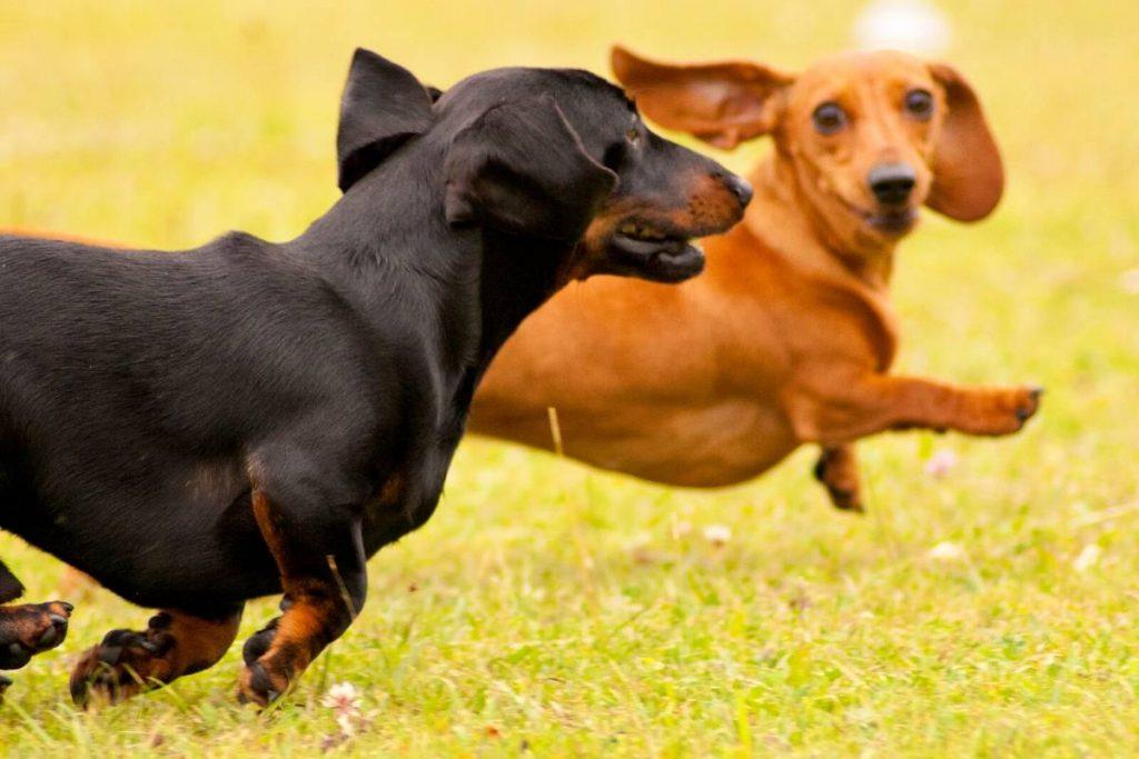 two smooth dachshunds running