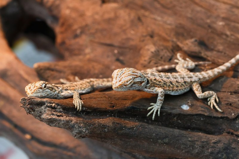 two baby bearded dragons ready to be adopted