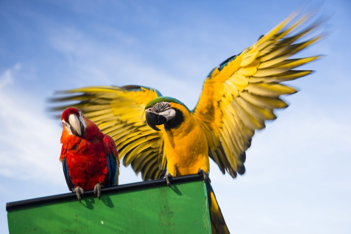 two domestic parrots kept as pets sitting on top of their cage