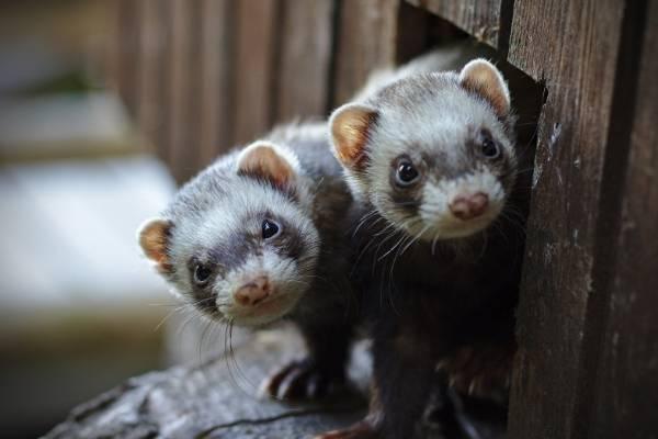 two ferrets looking out of house