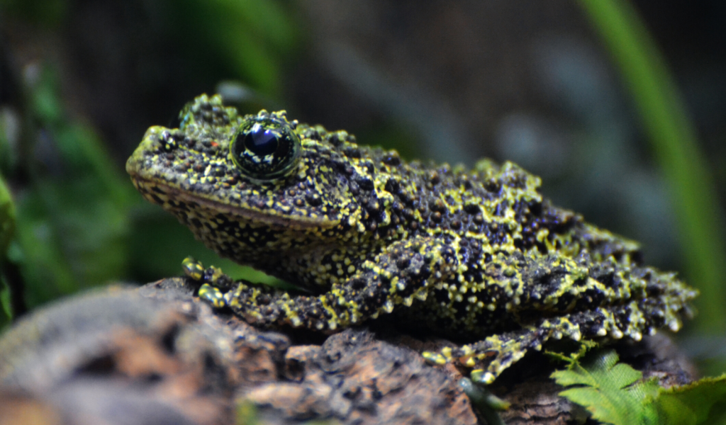 a close-up of a Vietnamese Mossy Frog sitting on a rock in its aquarium