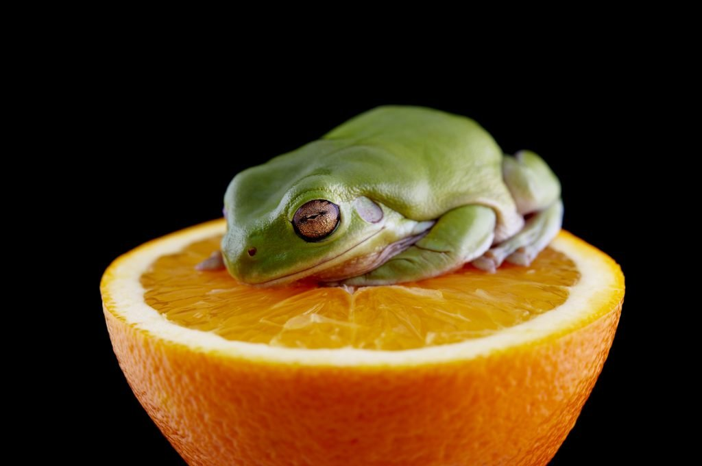 a picture of a white's tree frog sitting on an orange