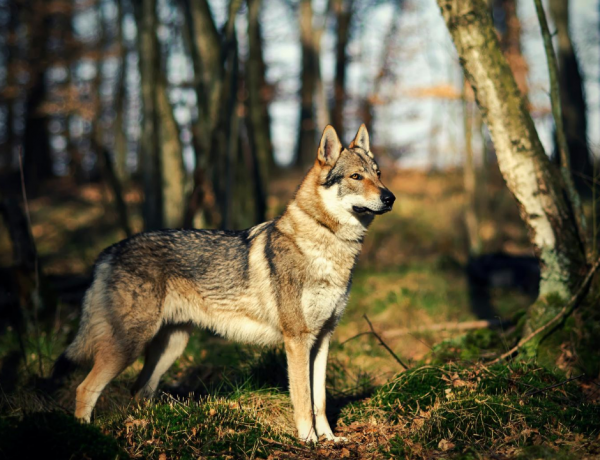 wolfdog in front of trees