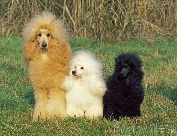a variety of poodle sizes and colors posing in the grass