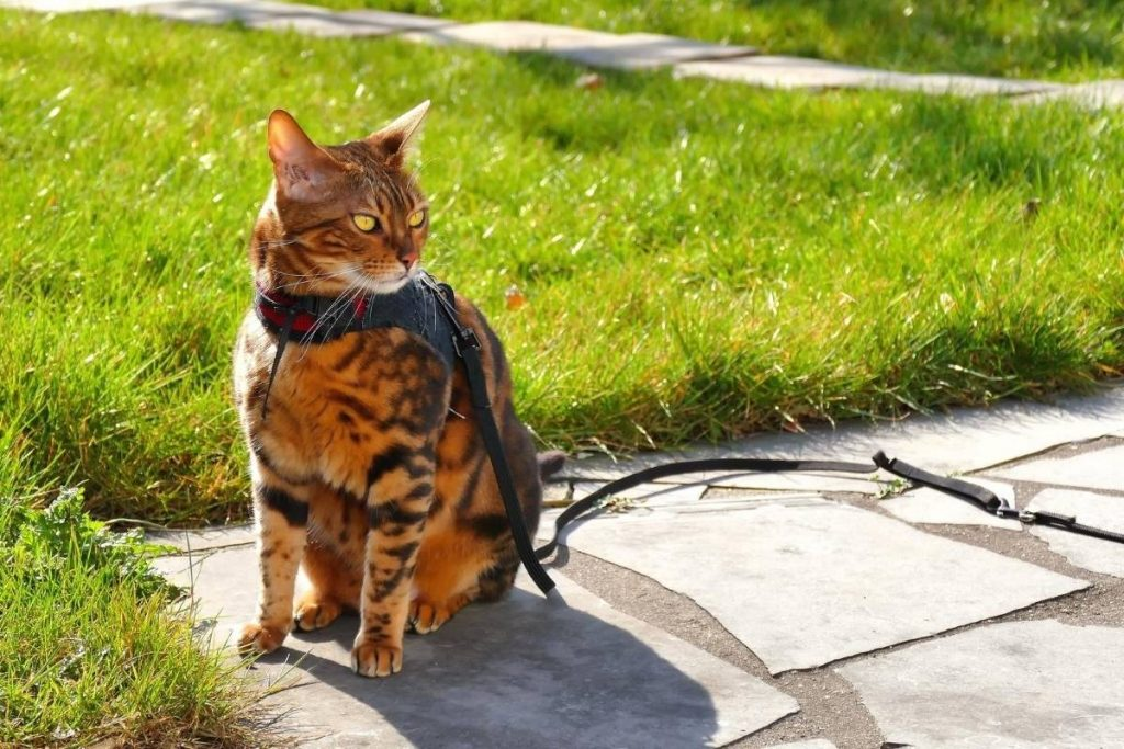 tabby cat on a harness outside