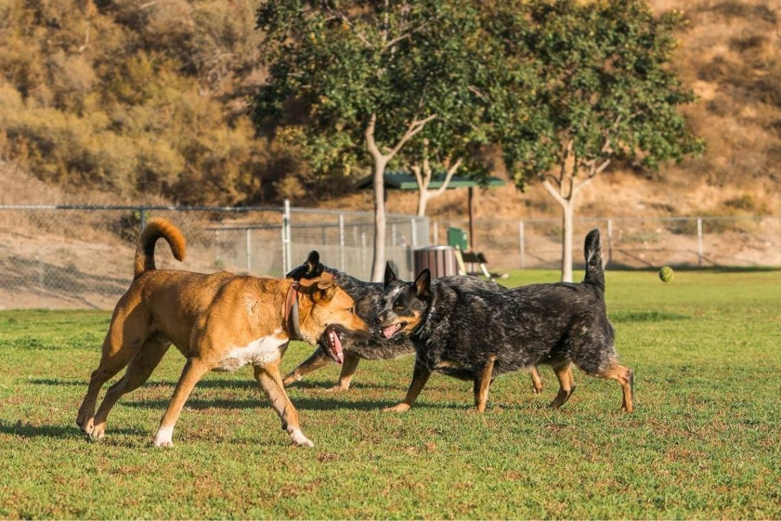 Two cattle dogs and a mixed breed dog running and playing at a dog park.