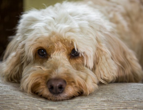 a pet cockapoo laying down with his head on a pillow