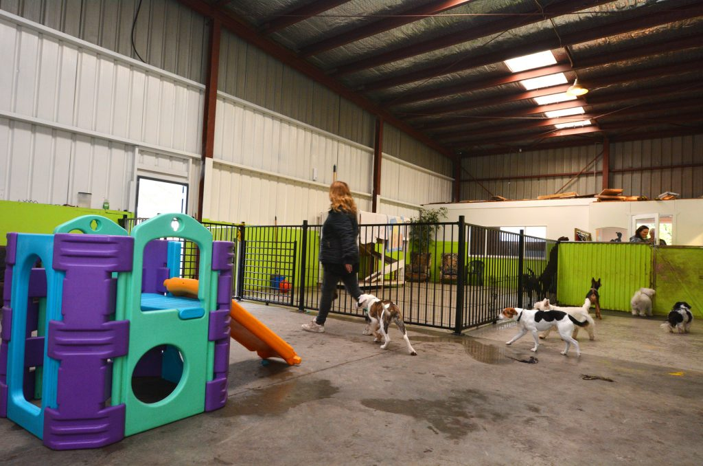 A person with several dogs playing at an indoor doggy daycare facility.