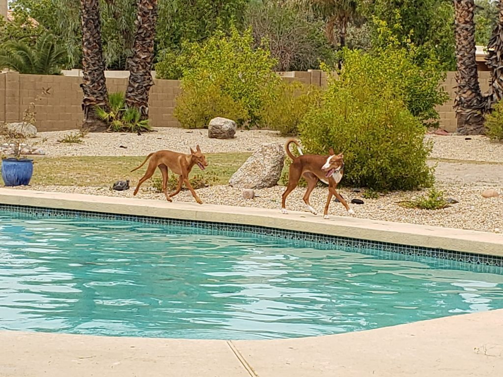 A Pharaoh Hound and an Ibizan Hound enjoy running and playing at a SniffSpot in Scottsdale, Arizona.