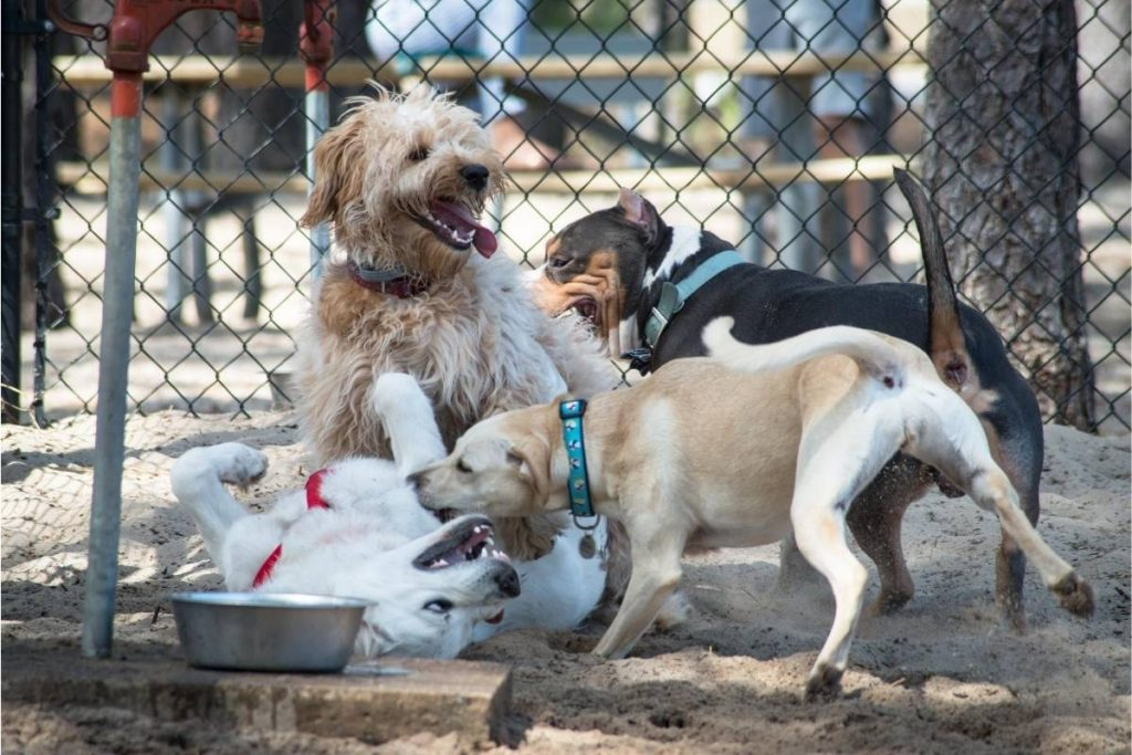 Four dogs playing rought at a dog park.