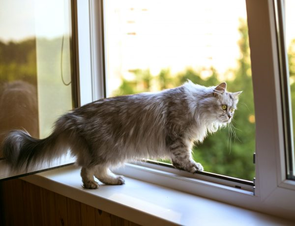 grey persian cat on a windowsill