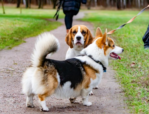 a pembroke welsh corgi and a beagle being walked together in the park