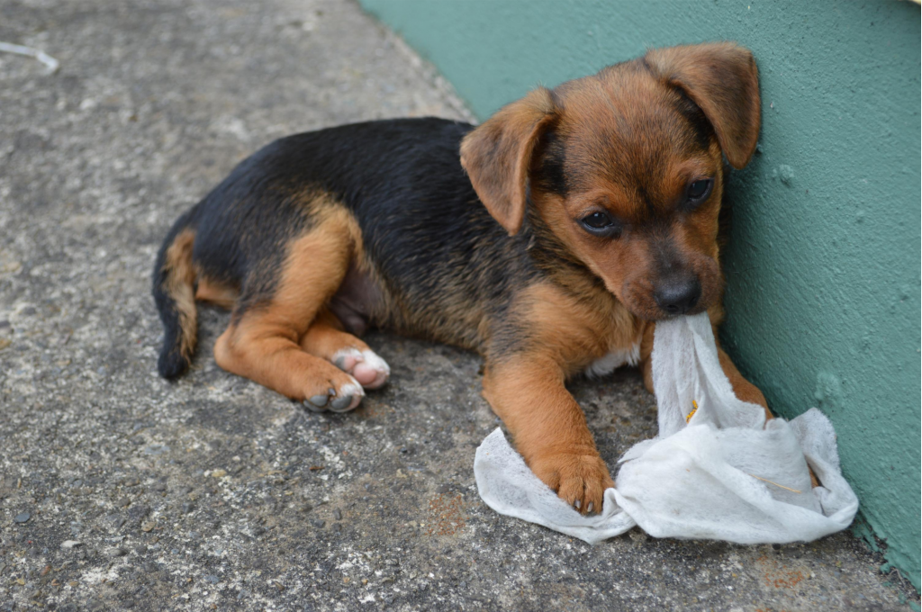 a small puppy eating a baby wipe