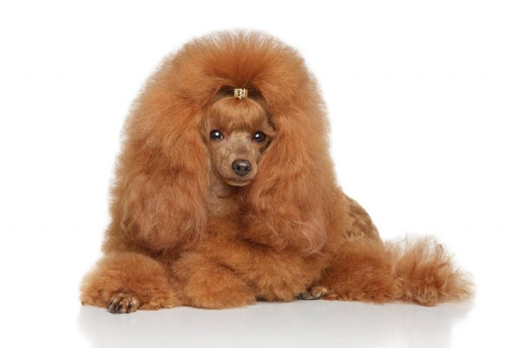 A well-groomed apricot toy poodle lying down.