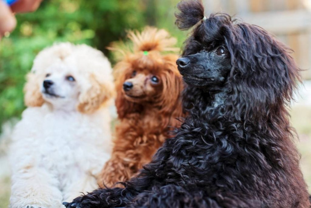 Three toy poodles in various colors.